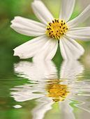 Beyaz papatya yansıyan closeup — Foto de Stock