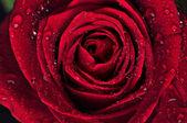 Rosa vermelha linda com gotas de chuva — Foto Stock
