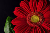 Red daisy on a black bockground — Stock Photo