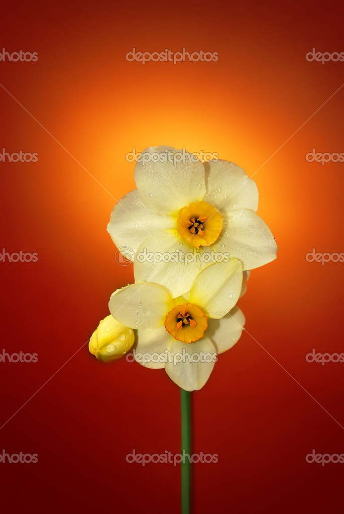 Daffodil on orange background — Stock Photo #2074999