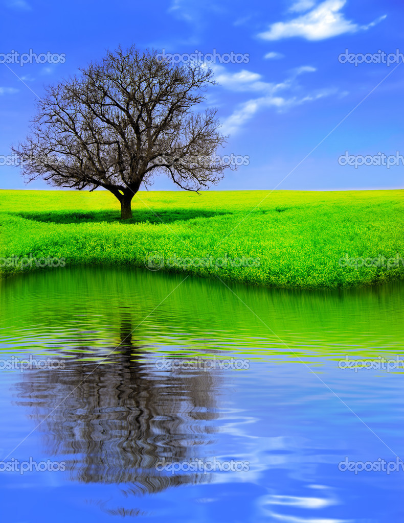 Lonely Tree in a Yellow Field, reflecting.  Stock Photo #2075795