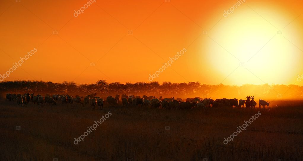 Sheep sunset  Stock Photo #2076451