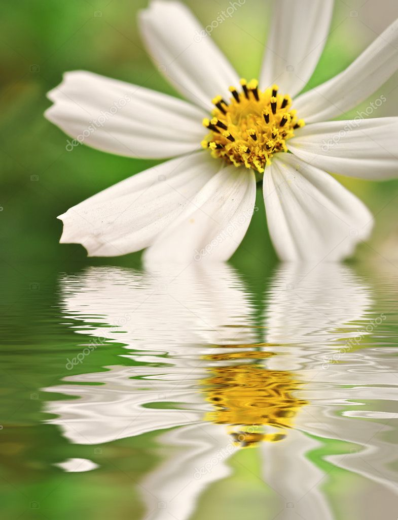 Closeup of white daisy reflected in the water — Stock Photo #2079256