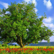 Poppy's fieldand big green tree — Stock Photo