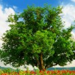 Poppy's fieldand big green tree - Stock Photo