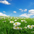 Field with daisies — Stock Photo