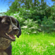 Dog with green background - Foto Stock