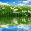 Field with daisies reflecting — Stock Photo