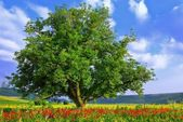Poppy's fieldand big green tree — Stockfoto