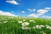 поле с ромашками — Стоковое фото