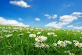 Field with daisies — Stock fotografie