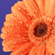 Foto de Stock  : Orange daisy on purple background