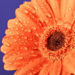 Orange daisy on purple background - Stock Photo