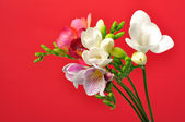 Freesia on red background — Stock Photo