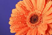 Margarida laranja sobre fundo roxo — Foto Stock