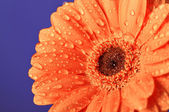 Orange daisy on purple background — Stock Photo