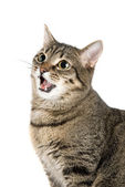 Mewing cat — Stock Photo