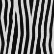 Zebra texture — Stock Photo