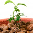 Plant in small flower pot. — Stock Photo
