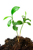 Young plant with dirt — Stock Photo