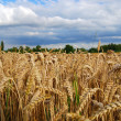 Wheat field - view of wheat spikes - Stock Photo