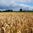 Stock Photo: Wheat field and farm house