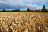 Wheat field and farm house — Stock Photo