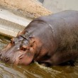 Hippo goes into the water — Stock Photo #2095996
