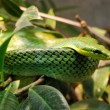 Green snake on the branch — Stock Photo