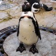 图库照片: Curious penguin watching camera
