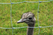 Ostrich behind the bars — Stock Photo