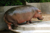 Hippo - back view — Stock Photo