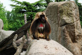 Ape with red skin — Stock Photo