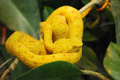 Vibrant yellow snake on the tree — Stock Photo