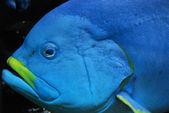 Deep blue fish close up — Stock Photo