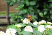 Golden butterfly on white flower — Stock Photo