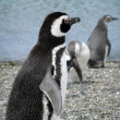 Magellan penguins in Patagonia — Stock Photo