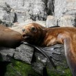 Sea lions in Patagonia - Stock Photo