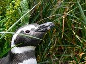 Magellan pingwin — Zdjęcie stockowe