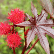 Stock Photo: Castor oil plant