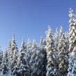 Stock Photo: Spruces