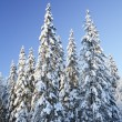 Spruce forest — Stock Photo #2098417