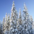 Stock Photo: Spruce forest