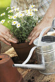 Hands putting white flowers in a pot — Stock Photo