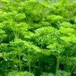 Parsley (Petroselinum crispum) — Stock Photo