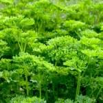 Parsley (Petroselinum crispum) — Stock Photo #2111026