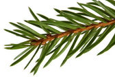 Spruce tree detail — Stock Photo