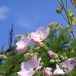 Stock Photo: Pink Mallow wildflowers