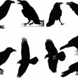Royalty-Free Stock : Raven collection