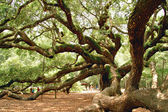 Angel Oak near Charleston, SC — Stock Photo